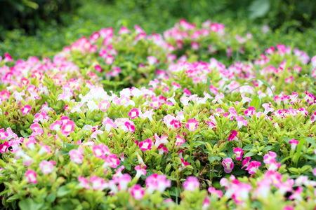 Fields of pink flowers in park