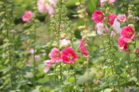 Fields of hollyhock