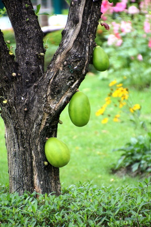 Ground Tree, Mexican Calabash Stock Photo