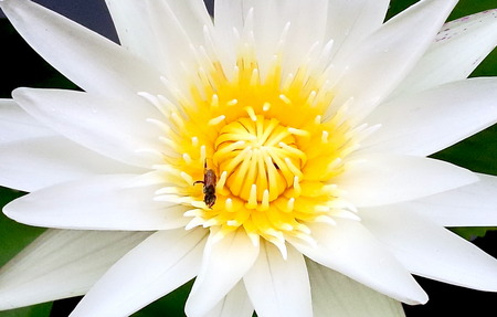 Close-up ,white lotus with bee