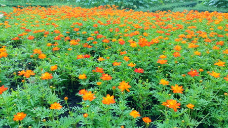 Orange Flower Fields