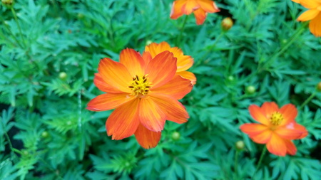 Orange flowers , Close-up