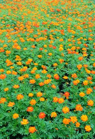 Orange Flower Fields in Nature