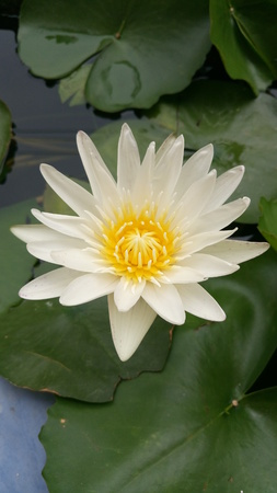 Beautiful white lotus in pond Stock Photo