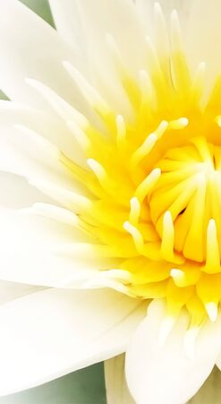 Yellow pollen of white water lily  ,Close-up