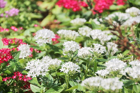 White Ixora and colorful flowers Stock Photo