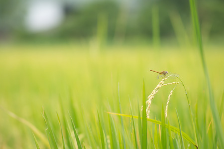 Close up dragonfry on top rice filed Zdjęcie Seryjne