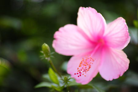A close-up image and selective focus of single pink Hibiscus Flower