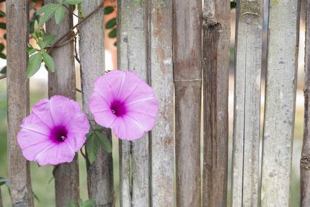 Flowers climber on bamboo fence Zdjęcie Seryjne