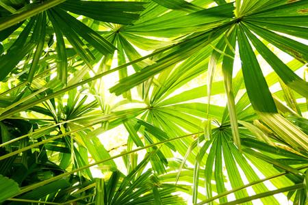 Textura de hoja de palmera de abanico tropical concepto de bosque y medio ambiente. Foto de archivo