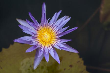 nenuphar: Blue lotus on the pond