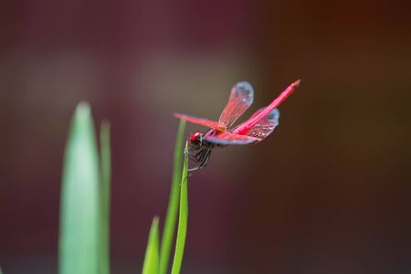 dragonfly wings: A red dragonfly resting on the green leaf