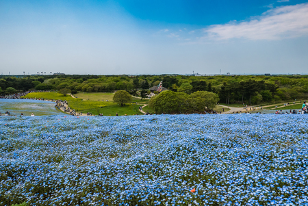 Ibaraki, Japan - May 1, 2016: Tourists at Hitachi Seaside Park in Ibaraki, Japan. Hitachi Seaside Park is a spacious park in Ibaraki Prefecture, Japan featuring a variety of green spaces and seasonal flowers spread out across 350 hectares, as well as an a Stock Photo