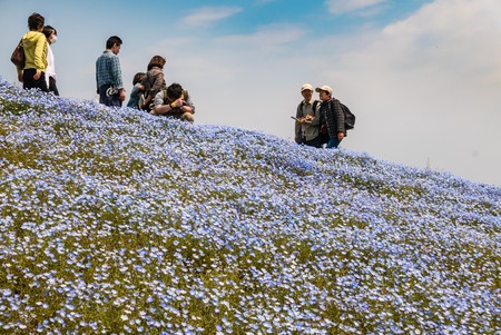 Ibaraki, Japan - May 1, 2016: Tourists at Hitachi Seaside Park in Ibaraki, Japan. Hitachi Seaside Park is a spacious park in Ibaraki Prefecture, Japan featuring a variety of green spaces and seasonal flowers spread out across 350 hectares, as well as an a Editorial
