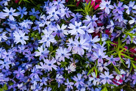 Beautiful natural background of small phloxes flowers