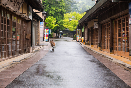 freely: Miyajima, Japan - May 6, 2016: Deer living freely in town of Itsukushima floating Torii Gate in Miyajima. Miyajima island is a famous island shrine-town is a UNESCO World Heritage Site and a major tourism destination.