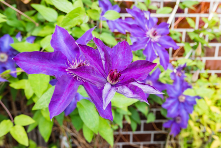 clematis: Blue Clematis flowers