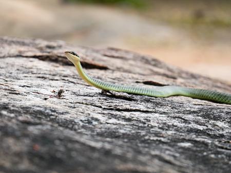 Golden Tree Snake (Chrysopelea ornata) in nature.