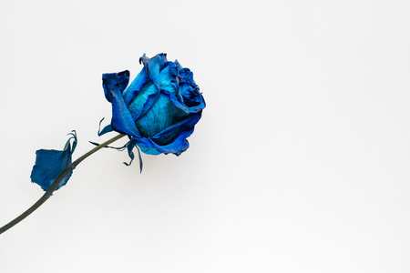 Dried blue rose on white background