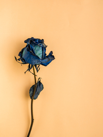Dried blue rose on yellow background