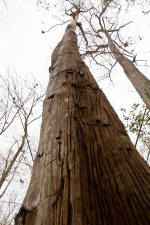 big dry tree Stock Photo - 9405428