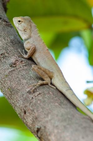 Thai chameleon on tree Stock Photo - 15211802