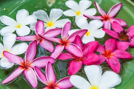 Close up colorful Plumeria flowers a ceramic basin
