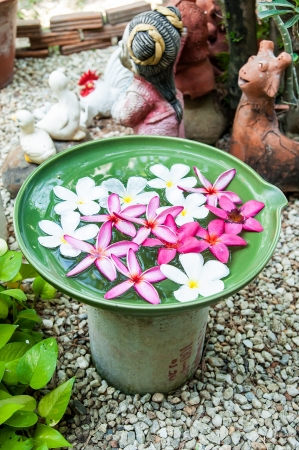 colorful Plumeria flowers a ceramic basin in garden