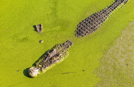 Crocodile - Stock Image