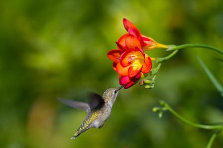 Hummingbird taken at during mid-flight ,humming, eating nectar