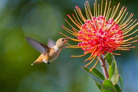 飛行中、ハミング、花の蜜を食べる間に撮影ハチドリ