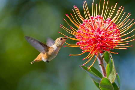 flying bird: Hummingbird taken at during mid-flight ,humming, eating nectar