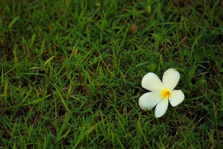 A white Plumeria on the ground  photo
