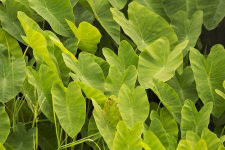 ニシキイモ緑色の葉