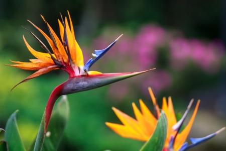 Heliconia Flower Bird of paradise photo