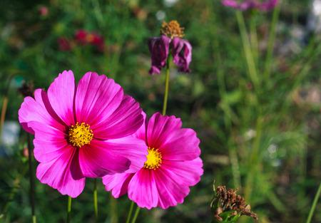 コスモスの咲く春