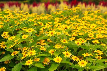 夏に活況を呈している黄色い花