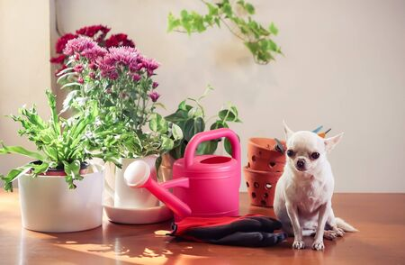 Cute small white Chihuahua dog sitting on wooden table with plants in plant pots and gardening equipment, morning sunlight, Gardening concept.
