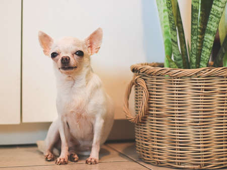 Portrait of white short hair chihuahua dog sitting by the basket of Snake plant ( Sansevieria).