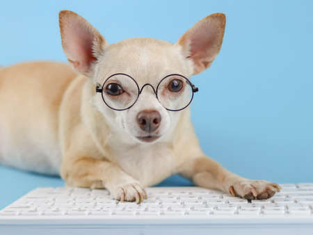Close up image of brown Chihuahua dog wearing eye glasses, typing on computer keyboard and looking at camera. Blue background.