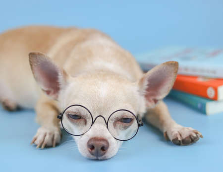 Close up image of brown chihuahua dog wearing eye glasses, lying down with stack of books on blue background. Chihuahua dog get bored of reading books.