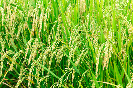 Close up green rice in rice field. Stock Photo