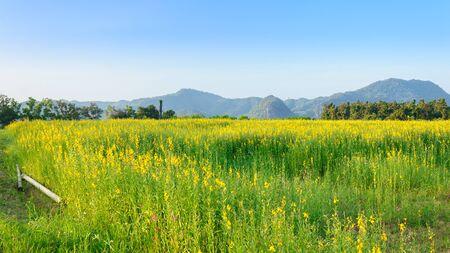 Sunn hemp (Crotalaria juncea) field with clear blue sky. Stock Photo