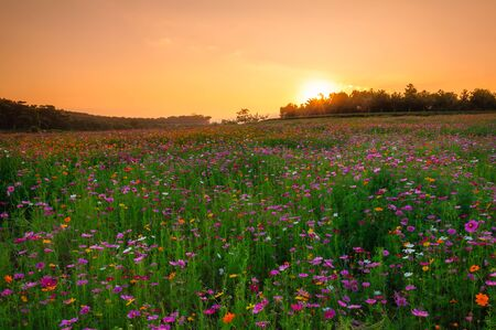 Pink cosmos field in sunset with hill background. Stock Photo