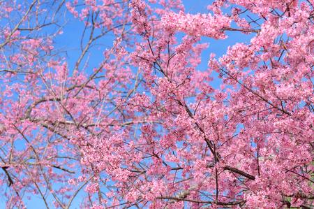 Close up branch of pink cherry blossom Prunus cerasoides.