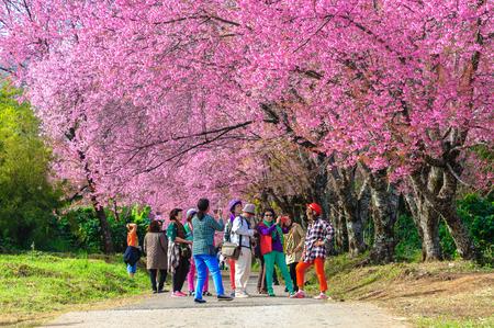 CHIANG MAI THAILANDJanuary16 : The tourists admiring the beautiful cherry blossom tree garden on January 16 2015 Chiang Mai Thailand. Editorial