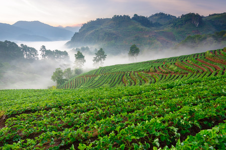 Morning sunrise in strawberry field at doi angkhang mountain chiang mai thailand. Stock Photo