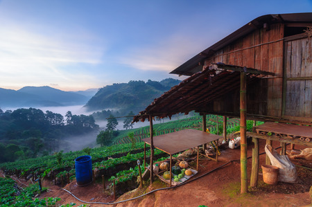 Morning sunrise in strawberry field at doi angkhang mountain, chiang mai, thailand.