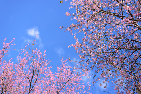 Pink cherry blossom branches on clear blue sky background with left branch out of focus. Stock Photo