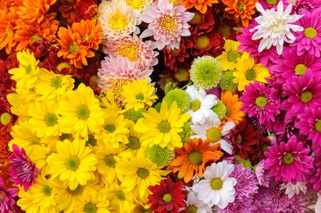 Close up group of multiple color Chrysanthemum.